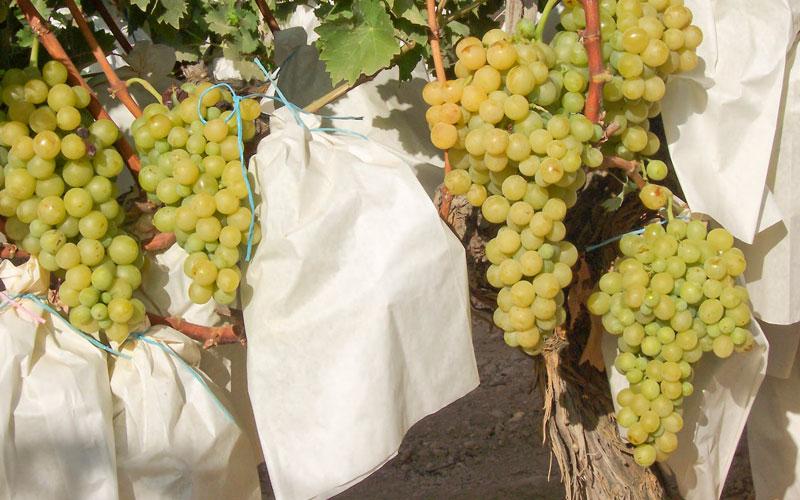 Photo of #Comarca: Hacienda veta el riego de socorro para la uva de mesa del Vinalopó