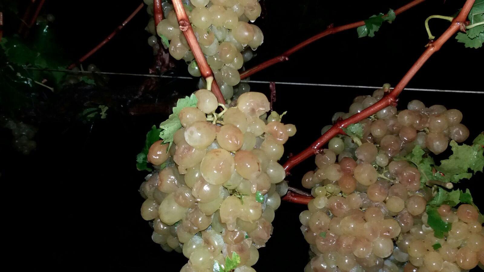 Photo of #Comarca: El granizo afecta a 400 hectáreas de uva de mesa del Medio Vinalopó