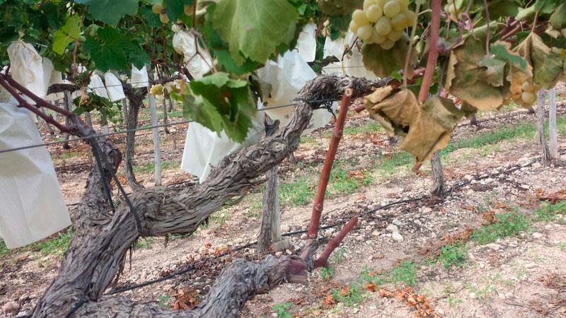 Photo of #Comarca: Agroseguro prevé una nueva subida del seguro de la uva de mesa