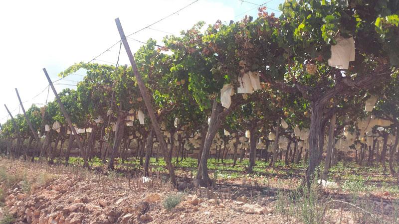 Photo of #Aspe: Recuperan 50 kilos de uva sustraída en Aspe y Monforte del Cid
