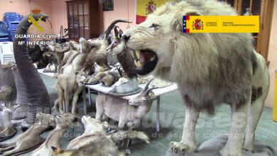 Photo of #Comarca: Intervienen más de 200 ejemplares de especies protegidas en talleres ilegales de taxidermia