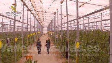 Photo of #Comarca: Desarticulan una red internacional dedicada al cultivo de marihuana con conexiones en Elda y Petrer