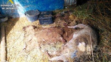 Photo of #Novelda: Detienen a un hombre en Novelda que provocó la muerte de 38 animales