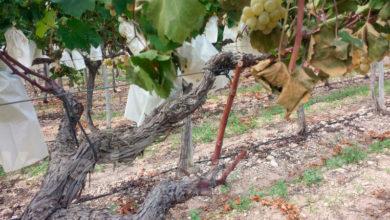 Photo of #Comarca: La uva cierra una campaña marcada por problemas de comercialización
