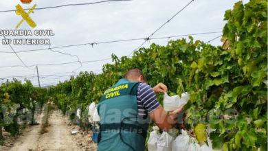 Photo of #Aspe: La Guardia Civil resuelve el 80% de los robos de uva